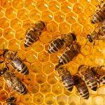 Lebah dan Madu: Keajaiban Ciptaan Allah